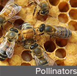 Pollinators